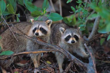 Raccoon Pair