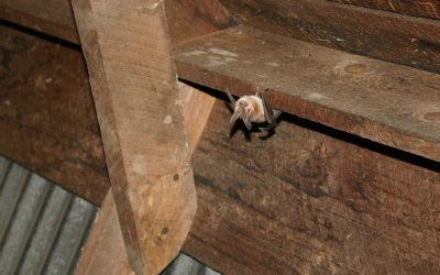 How to Know If There Are Animals in the Attic