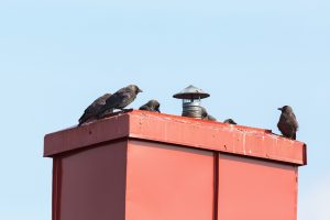 Jackdaws sitting on a chimney on the roof