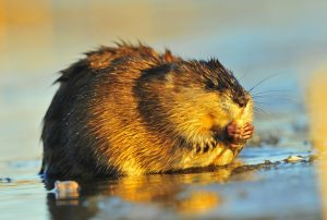 Muskrat ( Ondatra zibethica ) eats, lit up by light of the coming sun/