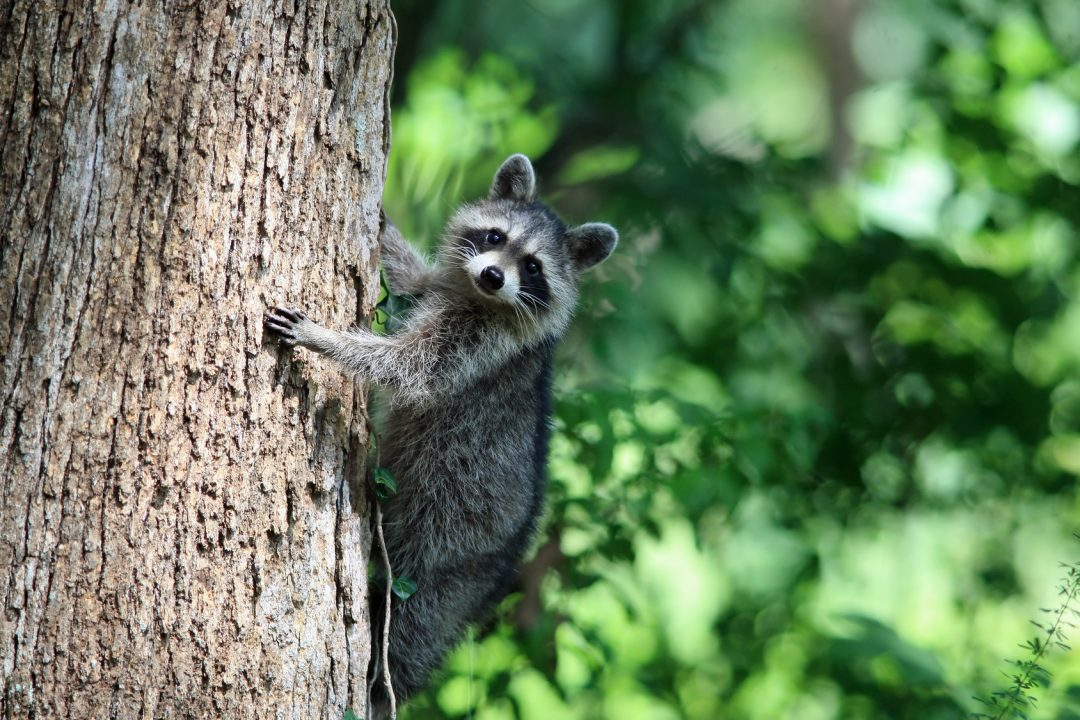Raccoon Removal and Control   Animal Control Specialists