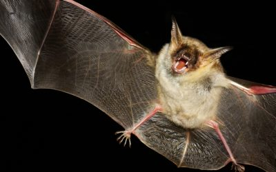 How to Get Rid of a Bat in the House