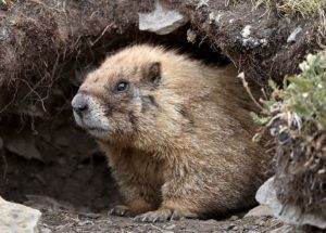 Groundhog And Woodchuck Control Animal Control Specialists