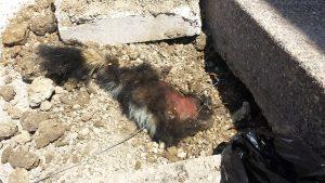 Dead Skunk Removal