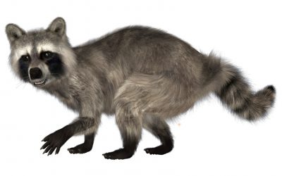 Raccoon Prevention Tips: How to Keep Those Bandits From Taking Over Your Home