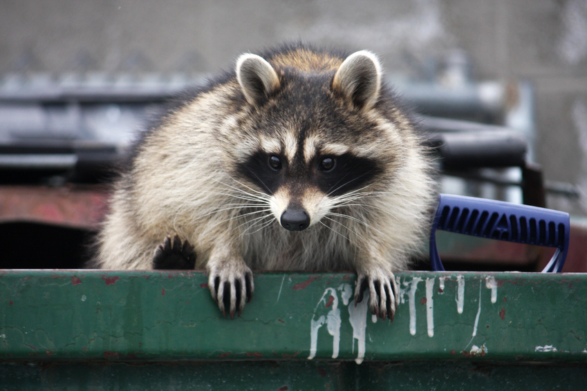 common raccoon complaints