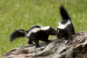 vernon hills skunk removal