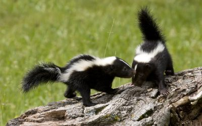 Skunk Mating Season in Northern Illinois Is on its Way: Homeowners Beware