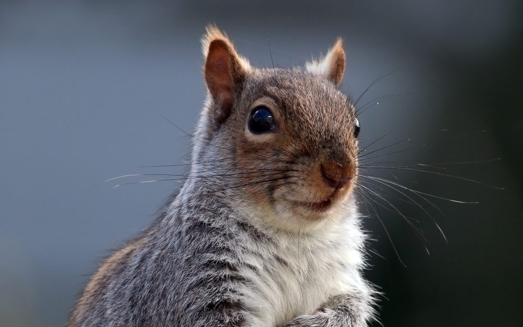 So You've Got A Squirrel Infestation: Now What?