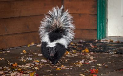 What to Do If a Dog Gets Sprayed By a Skunk