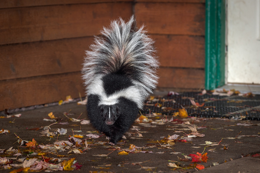 Skunk spray dog