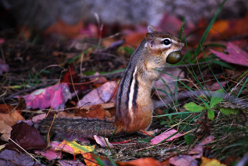 Chipmunk preparing for winter