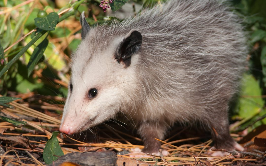 How To Get Rid of Opossums & Tips on Possum Control | Animal Control