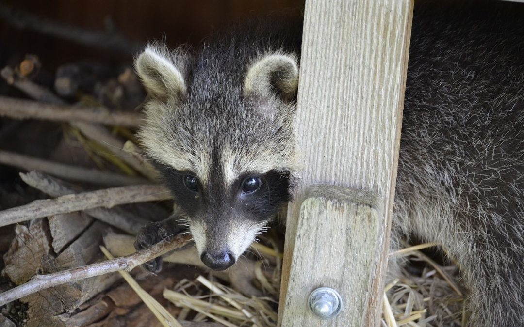 What To Do If A Raccoon Is Living Under A Deck Animal