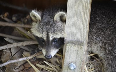 What to do if a Raccoon is Living Under a Deck