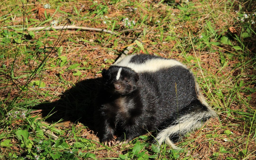 What Can be Done About Skunks Digging Up Lawn