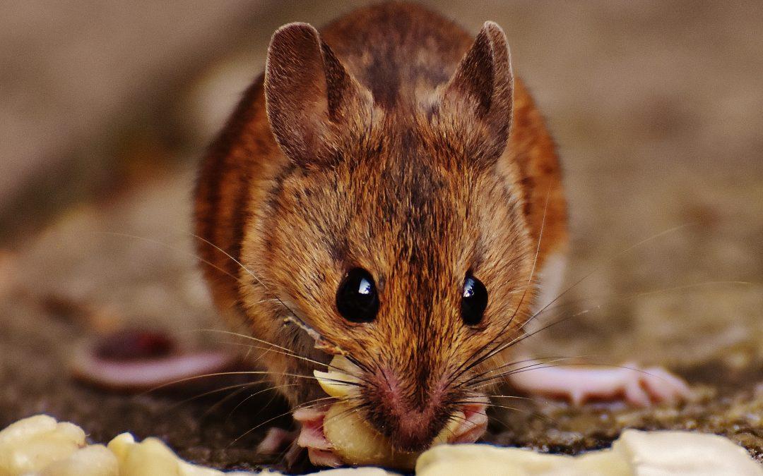 mice infestation
